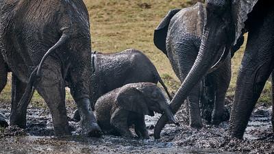 """Elephant (Kasane / North-West / Botswana - 17°50'29.759"""" S 25°5'15.6"""" E)"""