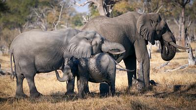 """Elephant (Maun / North-West / Botswana - 19°7'27.539"""" S 23°53'35.699"""" E)"""