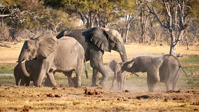 """Elephant (Maun / North-West / Botswana - 19°7'30.659"""" S 23°54'8.459"""" E)"""
