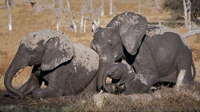 """Elephant (Maun / North-West / Botswana - 19°7'27"""" S 23°53'37.019"""" E)"""