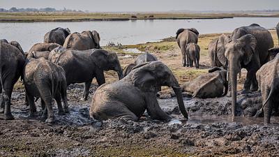 """Elephant (Kasane / North-West / Botswana - 17°50'10.859"""" S 25°5'59.399"""" E)"""