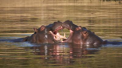 """Common hippopotamus (Maun / North-West / Botswana - 19°6'13.559"""" S 23°51'18.299"""" E)"""