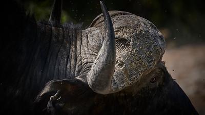 "Buffalo (Kasane / North-West / Botswana - 17°50'12.54"" S 24°59'58.98"" E)"