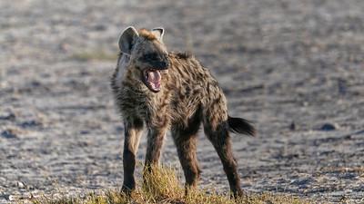 """Hyena (Maun / North-West / Botswana - 19°14'36.719"""" S 23°20'43.836"""" E)"""