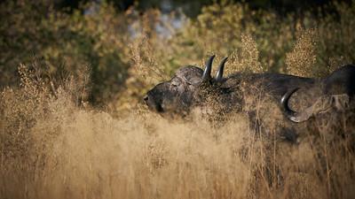"""Buffalo (Maun / North-West / Botswana - 19°28'57.666"""" S 23°31'58.433"""" E)"""