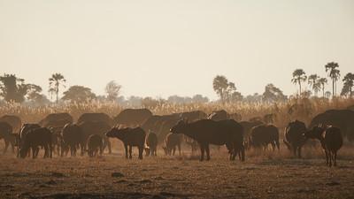 """Buffalo (Maun / North-West / Botswana - 19°29'11.676"""" S 23°31'24.408"""" E)"""