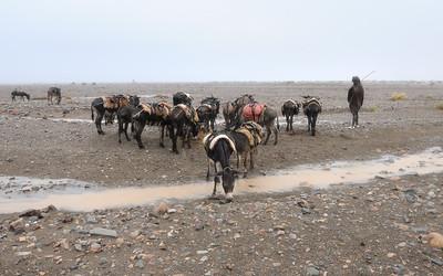Groupe d'ânes de bât