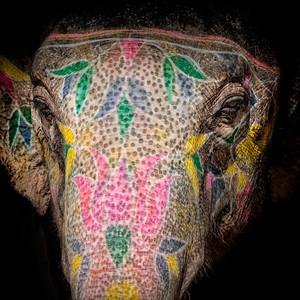L'éléphant d'Asie, parfois anciennement appelé « éléphant indien » se différencie par certaines caractéristiques anatomiques de son cousin d'Afrique. Il est en général plus petit (2 à 3,50 mètres au garrot contre 4 chez l'africain) avec des oreilles plus petites, ou encore une différence au bout de la trompe (un seul doigt préhensile au bout de la trompe). Le crâne forme deux bosses proéminentes et les défenses sont absentes chez les femelles et un certain nombre de mâles. Ces espèces survivantes font localement l'objet de programmes ou de projets de réintroduction et de protection. Il est utilisé comme monture ou animal de trait. Autrefois présent sur l'ensemble du continent asiatique, il n'occupe plus aujourd'hui qu'un territoire réduit. À l'état sauvage, l'espèce est en danger, même si le commerce de l'ivoire est illégal. Dans la religion hindoue, Ganesh est un dieu à tête d'éléphant ; il est le dieu de la Sagesse et le patron des étudiants. Les rares éléphants blancs sont sacrés en Inde, et les éléphants domestiqués et décorés aux couleurs des dieux bénissent les fidèles de leur trompe dans certains temples. En Inde, l'éléphant évoque la force, la puissance, l'orage (forme ronde et grise des nuages de pluie). Chaque dieu hindou chevauche un animal : Indra, dieu des Orages et de la Bataille, et Agni, dieu du Feu, se déplacent à dos d'éléphant.