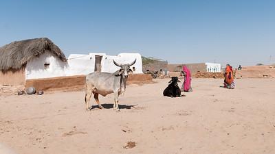 Vache de race zébu dans un petit hameau dans le désert du Thar, appelé aussi le Grand Désert indien ou le Pays de la mort. C'est un désert qui s'étend de l'État du Rajasthan au nord-ouest de l'Inde au Pakistan où il porte le nom de désert du Cholistan. C'est le 7e désert dans l'ordre de la superficie (200 000 km²). Il est encadré par l'Indus à l'ouest et la chaîne des Ârâvalli à l'est. Plus qu'un véritable désert, il s'agit en fait d'une étendue steppique où on rencontre une végétation très clairsemée dont seules les dunes suffisamment étendues sont dépourvues. Il reçoit moins de 200 mm d'eau par an. Ses villes principales sont Bîkâner et Jaisalmer. Malgré ces conditions de vie extrêmes, la vie est présente dans le désert. Parmi les mammifères, on note l'antilope pallas, la chinkara ou gazelle d'Arabie, le lynx caracal et le renard du désert. C'est aussi le désert le plus densément peuplé au monde. Cette zone est devenue désertique relativement récemment — peut-être entre 2000 av. J.-C. et le 1500 av. J.-C. À cette époque le fleuve Ghaggar cesse d'être un cours d'eau important et se perd dans le désert.