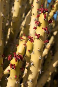 Détails de fleurs de cactée dans le désert du Thar, appelé aussi le Grand Désert indien ou le Pays de la mort. C'est un désert qui s'étend de l'État du Rajasthan au nord-ouest de l'Inde au Pakistan où il porte le nom de désert du Cholistan. C'est le 7e désert dans l'ordre de la superficie (200 000 km²). Il est encadré par l'Indus à l'ouest et la chaîne des Ârâvalli à l'est. Plus qu'un véritable désert, il s'agit en fait d'une étendue steppique où on rencontre une végétation très clairsemée dont seules les dunes suffisamment étendues sont dépourvues. Il reçoit moins de 200 mm d'eau par an. C'est aussi le désert le plus densément peuplé au monde. Cette zone est devenue désertique relativement récemment — peut-être entre 2000 av. J.-C. et le 1500 av. J.-C. À cette époque le fleuve Ghaggar cesse d'être un cours d'eau important et se perd dans le désert.