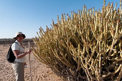 Cactée dans le désert du Thar, appelé aussi le Grand Désert indien ou le Pays de la mort. C'est un désert qui s'étend de l'État du Rajasthan au nord-ouest de l'Inde au Pakistan où il porte le nom de désert du Cholistan. C'est le 7e désert dans l'ordre de la superficie (200 000 km²). Il est encadré par l'Indus à l'ouest et la chaîne des Ârâvalli à l'est. Plus qu'un véritable désert, il s'agit en fait d'une étendue steppique où on rencontre une végétation très clairsemée dont seules les dunes suffisamment étendues sont dépourvues. Il reçoit moins de 200 mm d'eau par an. C'est aussi le désert le plus densément peuplé au monde. Cette zone est devenue désertique relativement récemment — peut-être entre 2000 av. J.-C. et le 1500 av. J.-C. À cette époque le fleuve Ghaggar cesse d'être un cours d'eau important et se perd dans le désert.