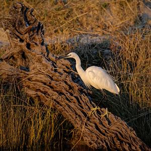 "Aigrette garzette, little egret : Egretta garzetta - Location 17°50'15"" S 25°3'19"" E"