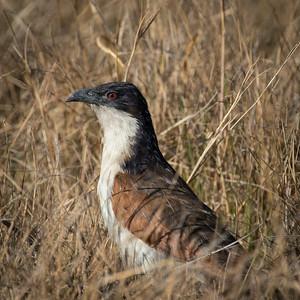 "Coppery-tailed coucal : Centropus cupreicaudus, Coucal des papyrus - Location 17°56'18"" S 23°18'7"" E"