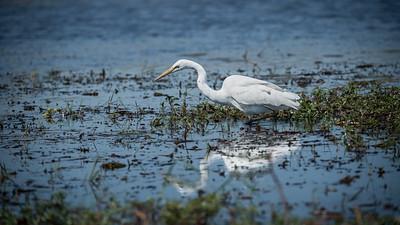"""Grande Aigrette, great egret : Ardea alba - Location 17°50'11"""" S 25°5'17"""" E"""
