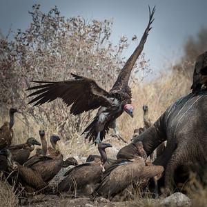 "Lappet-faced vulture. : Torgos tracheliotos, Vautour oricou - Location 19°8'33"" S 20°42'9"" E"