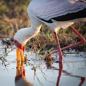 "Tantale ibis, yellow-billed stork : Mycteria ibis - Location 17°49'49"" S 25°2'51"" E"