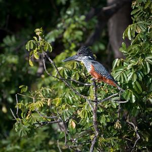 """Giant kingfisher : Megaceryle maximus, Martin-pêcheur géant - Location 17°50'15"""" S 25°3'19"""" E"""