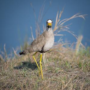 """Vanneau du Sénégal, wattled lapwing : Vanellus senegallus - Location 17°52'48"""" S 23°18'30"""" E"""
