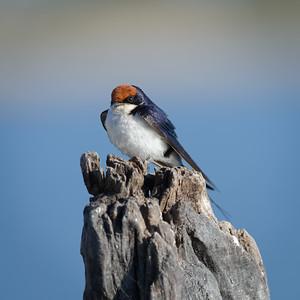 "Hirondelle à longs brins, wire-tailed swallow : Hirundo smithii - Location 17°50'21"" S 25°3'31"" E"
