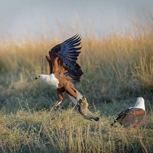 "African fish-eagle : Haliaeetus vocifer, Aigle pêcheur - Location 17°49'50"" S 25°2'56"" E"