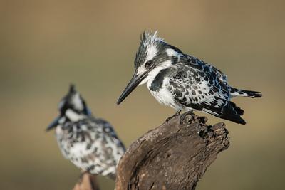 "Martin-pêcheur pie, pied kingfisher : Ceryle rudis - Location 17°49'48"" S 25°2'50"" E"