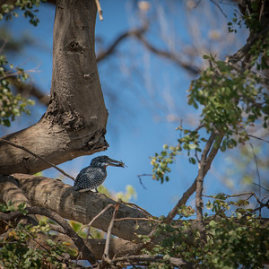 """Giant kingfisher with a crab : Megaceryle maximus, Martin-pêcheur géant - Location 17°50'28"""" S 25°4'9"""" E"""