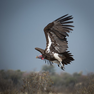 "Lappet-faced vulture : Torgos tracheliotos, Vautour oricou - Location 19°8'33"" S 20°42'9"" E"
