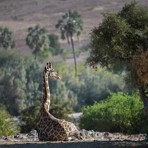 Girafe - Giraffe (giraffa camelopardalis)