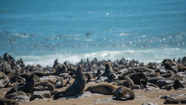 Otaries à fourrure - Brown fur Seal (arctocephalus pusillus)