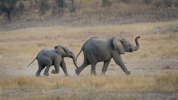 """African bush elephant : bush elephant : savannah elephant : Loxodonta africana, Éléphant de savane d'Afrique - Location 19°6'30"""" S 20°42'25"""" E"""