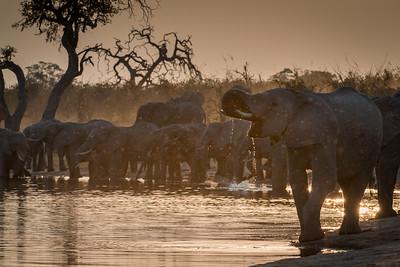 """African bush elephant : bush elephant : savannah elephant : Loxodonta africana, Éléphant de savane d'Afrique - Location 18°10'31"""" S 23°26'37"""" E"""