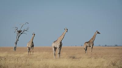 """Girafe, giraffe : Giraffa camelopardalis  - Location 18°38'18"""" S 24°5'37"""" E"""