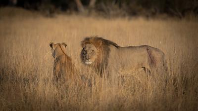 "Lion, lion : Panthera leo - Location 18°37'1"" S 24°4'18"" E"