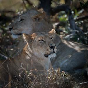 "Lion, lion : Panthera leo - Location 18°36'42"" S 24°4'17"""