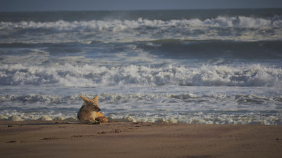 Jackal and the ocean