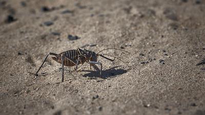 Armoured bush cricket