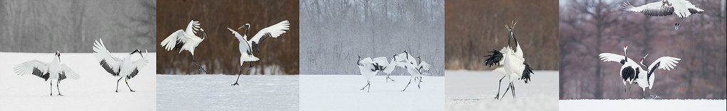 The Dance - Red-Crowned Cranes