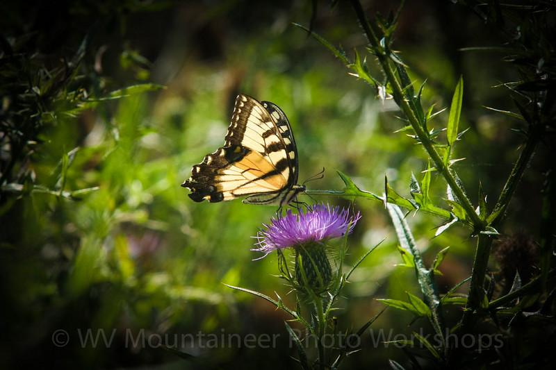 Butterfly - Rainelle West Virginia