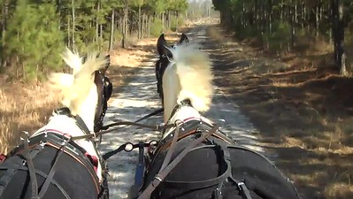 First canter in harness...yee-haw!