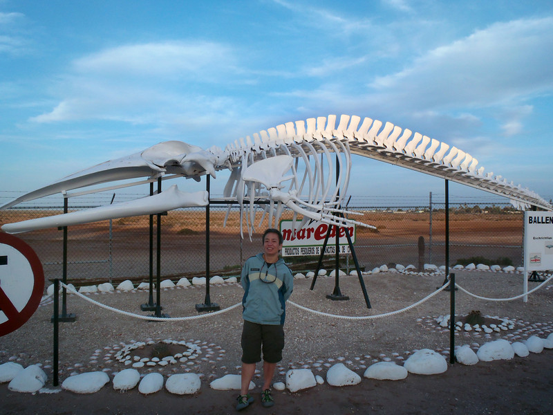 Adolfo Lopez Mateos, March 2: This mid-sized gray whale skeleton is displayed outdoors.