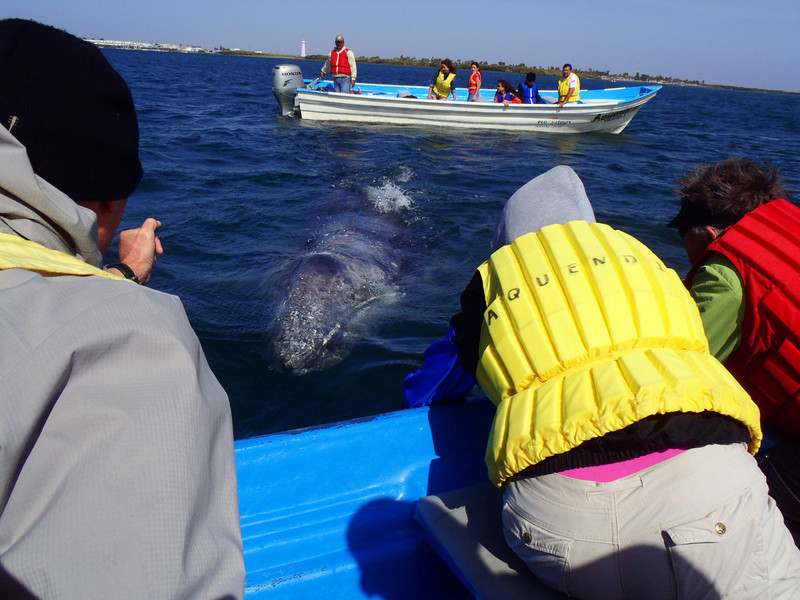 Magdalena Bay, March 2: Adult gray whale.