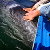 Magdalena Bay, March 2: Evelyn pats a gray whale calf.