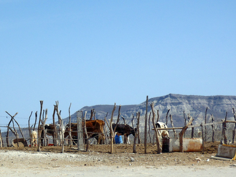 March 2: Cattle pen behind a taco restaurant in the desert on Hwy 1 in Baja California Sur.