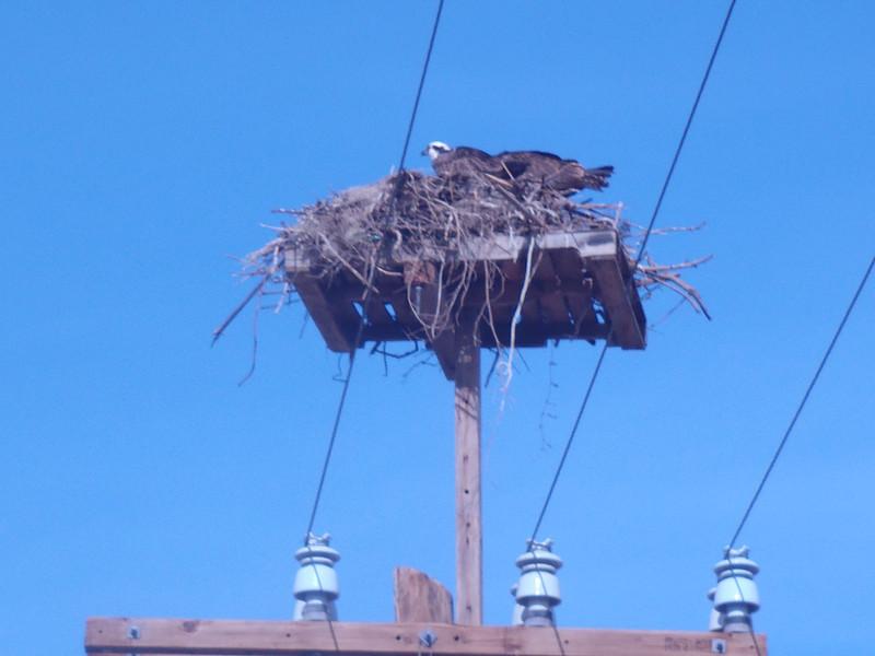 Adolfo Lopez Mateos, March 2: Osprey nest.