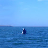 Magdalena Bay, March 2: A gray whale spy hops to check out the neighborhood.