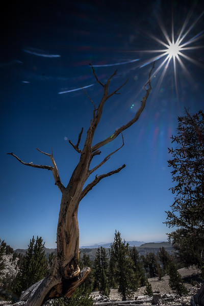 """Dancing"" Bristlecone Pine, California, USA"