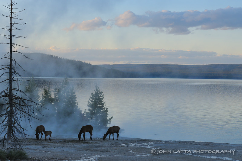 Elk at West Thumb of Yellowstone Lake