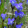 Rocky Mountain Fringed Gentian