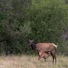 National Bison Range - Elk and Calf-6761