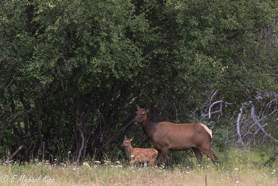 Cow Elk and calf
